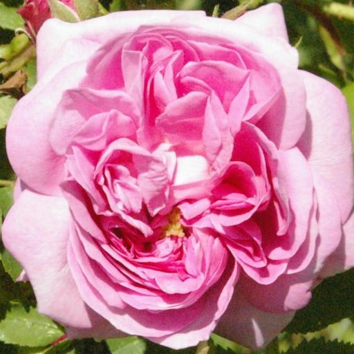 Rose rosa damascena Sabine Kramel